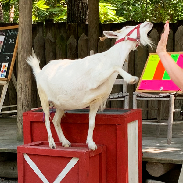 Goat tricks at the Farmyard